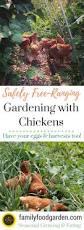 safely free range chickens in garden