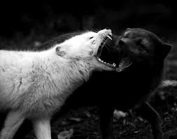 the black wolf and the white wolf