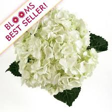 bulk hydrangeas wholesale hydrangeas hydrangeas for diy weddings