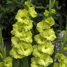 gladiolus bulbs buy flower bulbs in bulk u0026 save