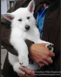 belgian shepherd vancouver white german shepherd dogs u0026 puppies polarbear