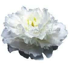 wedding flowers january buy peonies wedding flower in january at wholesale price