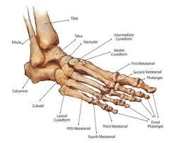 Anatomy Of Human Body Bones Foot And Ankle Bones Anatomy Human Anatomy Diagram