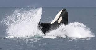killer whale hunting strategies