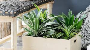 plante d駱olluante chambre le dracaena une plante verte dépolluante