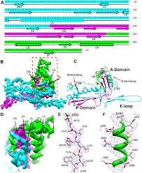 a new topology of the hk97 like fold revealed in bordetella