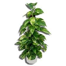 shop 3 83 quart split leaf philodendron at lowes com