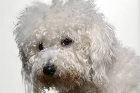 poodle y bichon frise if you ignore the bichon frise temperament you u0027ll yourself later