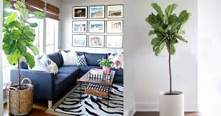 Fiddle Leaf Fig Tree Care by Fiddle Leaf Fig Care How To Grow Fiddle Leaf Fig Tree