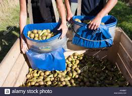 delivered fruit pear harvest collected by migrant workers in boxfresh