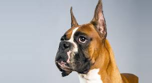 boxer dog with tail boxer dog breed information american kennel club