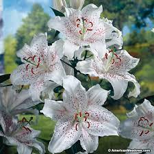 sale fragrant oriental lily bulbs www ron elektro ru