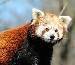 red panda free pictures pixabay