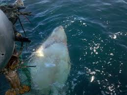 monster shark a great white christmas on cape cod capelinks