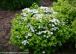 Decorative Shrubs Glow Spirea Is A Deciduous Shrub With Ornamental Features