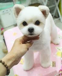 facts about teddy bear dogs dog maltese and pet grooming