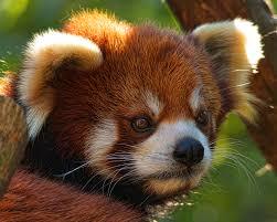 red panda bear photograph cute animal photograph wall art