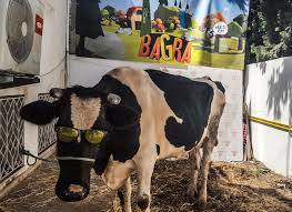 Backyard Dairy Cow Tunisian Video Game Company Has Moo Velous Promotion A Free Cow