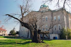 jackson s hanging tree in danger cape girardeau history and photos