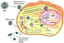 viruses free full text roles of micrornas in the hepatitis b