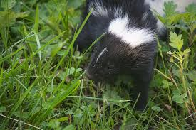 how to get rid of skunk smell catseye pest control