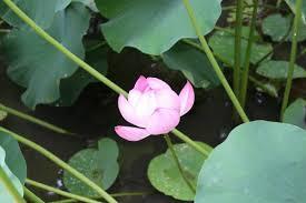 Lotus Flower Parts - toshodaiji and yakushiji temples nara japan travel tourism