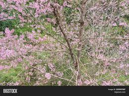 tiger cherry blossom image photo bigstock