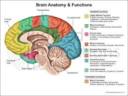 functions of the structures of the brain articles physiological