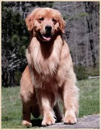 Comfort Retriever Puppies For Sale Tangleloft Golden Retrievers Established 1968 40 Years Of Top