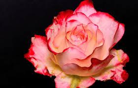 i am a rose u2026 u201d 1 u2013
