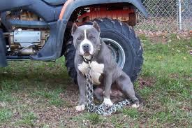 american pitbull terrier gator american pit bull terrier abkc gottiline blue pit bull puppies