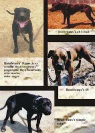 american pitbull terrier jeep bloodline fat bill u0027s bolero 1985 ca american pit bull terrier