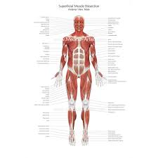 Heart Wall Anatomy Muscular System Medical Illustrations Ready To Create And License