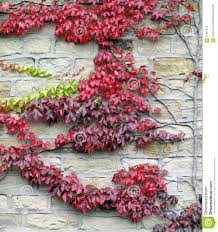 red leaf vine on a stone brick wall stock photo image 57827012