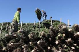u s tree shortage may drive up prices upi