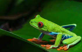 is the eyed tree frog poisonous