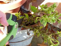when to prune native plants do petunias need pruning learn when and how to prune petunias