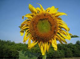 backyard farming sunflowers