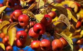 Blackmoor Fruit Trees - the 10 minute gardener pruning fruit trees telegraph