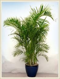 areca palm different type plants indoor plants dubai