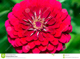 plants native to mexico red dahlia flower in summer royalty free stock photos image