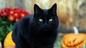 wallpaper de halloween wallpaper de un gato negro de halloween 1366x768 fondos de