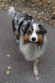 australian shepherd top speed pin by aceo the perros on pastores ovejero australiano pinterest