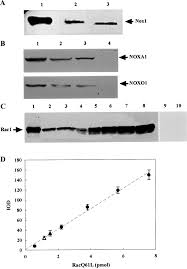 activation of nadph oxidase 1 in tumour colon epithelial cells
