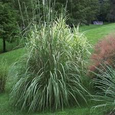plume grass seed ravenna ornamental grass seeds uda zones 5 10