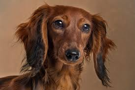 afghan hound urban dictionary dachshund dog breed information pictures characteristics u0026 facts