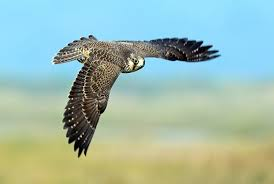 what makes peregrine falcons the fastest animals on earth
