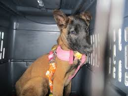 belgian shepherd dog rescue freshpet helps abmc malinois rescue l freshpet donations