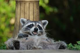 raccoons in the wild and urban adapters nature and wildlife