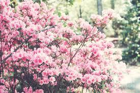 dreamy pink south carolina apple blossom trees south carolina